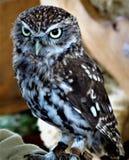 矮小的猫头鹰 免版税库存图片