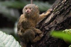 矮小的猴子 免版税库存图片
