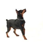矮小的短毛猎犬狗 库存图片