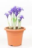 矮小的虹膜罐紫色 免版税图库摄影