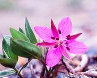 矮小的野草Chamerion latifolium花 免版税库存照片