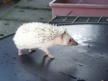 矮小的顶面豪猪是淘气的 免版税库存图片
