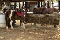 矮小的马身分在槽枥放松在动物农场在Saraburi,泰国 库存图片