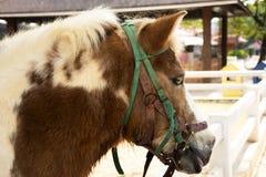 矮小的马身分在槽枥放松在动物农场在Saraburi,泰国 库存照片