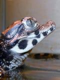 矮小的鳄鱼婴孩 库存照片