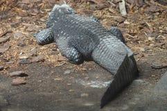 矮小的鳄鱼 免版税库存图片