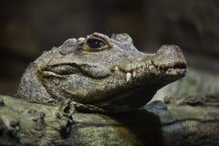 矮小的鳄鱼Osteolaemus tetraspis 库存照片