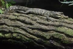 矮小的鳄鱼Osteolaemus tetraspis 免版税图库摄影