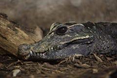 矮小的鳄鱼Osteolaemus tetraspis 免版税库存照片