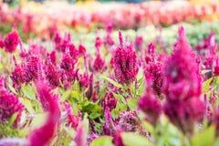 矮小的鸡冠花,鸡冠花plumosa 库存照片