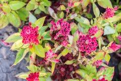 矮小的鸡冠花,鸡冠花plumosa 免版税库存图片