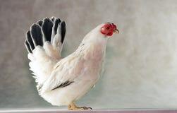 矮小的鸡日语 免版税库存照片