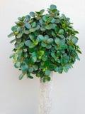 矮小的结构树 免版税库存图片