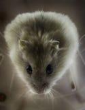 矮小的仓鼠俄语 库存图片