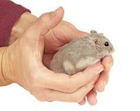 矮小的仓鼠 免版税库存图片