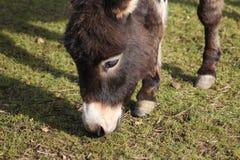 矮小的驴头 图库摄影