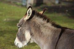 矮小的驴头 免版税库存图片