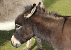 矮小的驴头 免版税库存照片