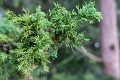 矮小的Hinoki赛普里斯, chamaecyparis obtusa,薄肌的纳纳的分支和叶子 免版税库存图片