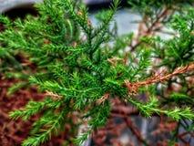 矮小的Hinoki赛普里斯,chamaecyparis obtusa,薄肌的纳纳的分支和叶子 免版税库存照片