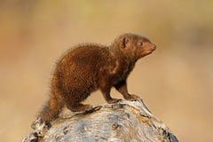 矮小的kruger猫鼬n p 库存图片