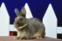 矮小的netherland兔子 库存图片
