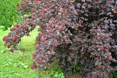 矮小的ninebark (Physocarpus opulifolius Kuntze),空中陀螺等级 图库摄影