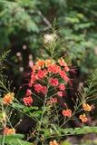 矮小的Poinciana是一朵美丽的花 免版税库存图片