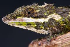 矮小蜥蜴/Cophotis ceylanica 免版税库存照片