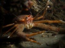 矮小龙虾-海湾Creran 库存照片