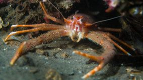 矮小龙虾-海湾Creran 库存图片