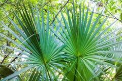 矮棕榈条在森林 免版税库存照片