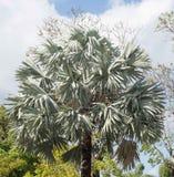 矮棕榈条棕榈树的叶子 库存图片