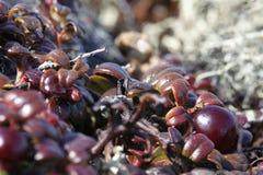 矮灌林蔓越桔& x28特写镜头; 也指lingonberries& x29; 库存照片