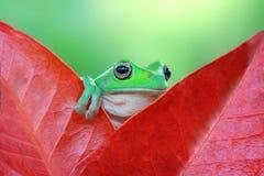 矮胖的白色雨蛙 免版税库存图片