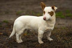 矮胖的短足的勇敢的狗室外画象  免版税库存照片