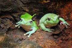 矮胖的青蛙从掩藏 免版税库存照片