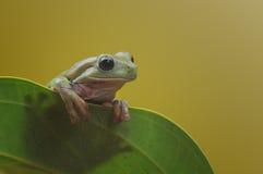矮胖的青蛙 库存照片