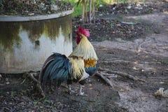 矮脚鸡寻找在地面上的食物 免版税库存照片