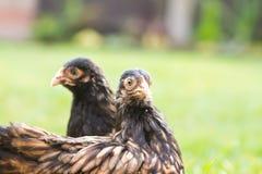 矮脚鸡pekin 图库摄影
