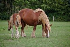 石勒苏益格吃草在一个绿色牧场地的coldblood马和它的驹 免版税库存图片