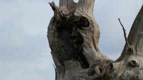 石化橡树关闭 免版税库存照片
