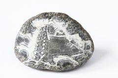 石化海胆 免版税库存图片