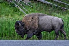 黄石北美野牛 免版税库存照片