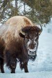 黄石北美野牛 库存图片