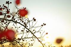 石南木灌木发光 免版税库存照片