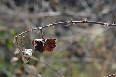 石南木,捷克,欧洲干燥分支  库存图片