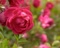 石南木canina通配罗莎的玫瑰 库存照片