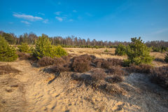 石南花和沙子在Veluwe地区 库存图片