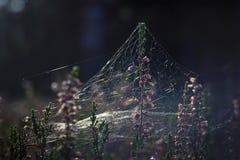 石南花和蜘蛛网 免版税库存照片